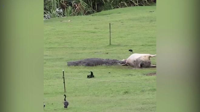 Úc: Cá sấu khổng lồ
