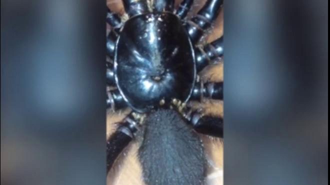 Sốc khi thấy nhện kịch độc khổng lồ bò vào nhà