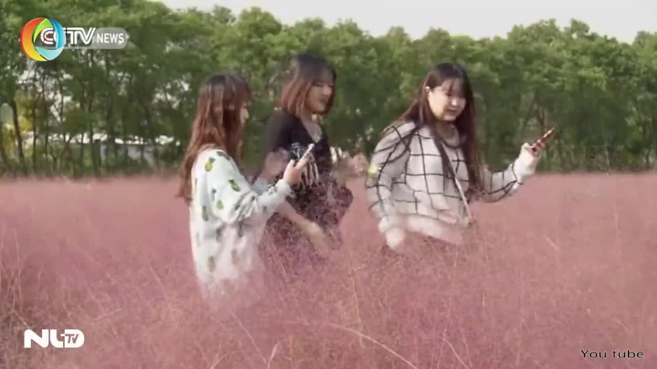Ngắm đồng cỏ màu hồng tuyệt đẹp!