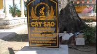Cây sao cổ thụ ở chùa Ba Phố