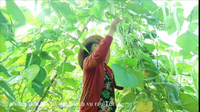 Nông dân hối hả thu hoạch rau quả bán Tết