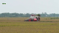 """Nông dân """"thắng lớn"""" trong vụ lúa Đông-Xuân nhờ mô hình cánh đồng mẫu"""