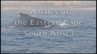 """Kỳ thú khoảnh khắc cá voi nặng 40 tấn """"bật tung"""" khỏi mặt nước"""