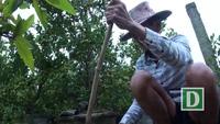 Cận cảnh vùng chuyên trồng Quất Tết ở Phú Yên