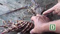 Phú Yên: Tôm hùm phát bệnh, người nuôi mất tiền triệu mỗi ngày