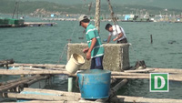 Tình trạng mua bán tôm hùm giống ngoại tràn lan ở Phú Yên