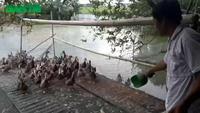 Thạc sĩ bỏ giảng đường về nuôi vịt, gà kiếm hàng trăm triệu mỗi năm