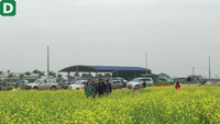 Ngất ngây giữa trời đông giá rét với cánh đồng hoa cải vàng rực tại xứ Thanh