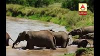 Xem voi xử lý thông minh để cứu con khỏi bị nước cuốn trôi