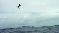 Xem cá chuồn bay lượn tránh kẻ thù truy sát