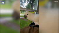 Hài hước chú vẹt có khả năng sủa giống hệt chó