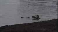 Khoảnh khắc ngựa vằn thoát chết khỏi hàm cá sấu nhờ gia đình nhà hà mã