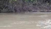 Choáng với cuộc chiến sống còn giữa cá sấu caiman và báo đốm