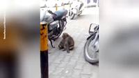 Bắt quả tang một chú khỉ nghiện xăng đang uống trộm xăng xe máy