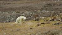 Gấu Bắc cực chờ chết do biến đổi khí hậu