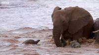 Khoảnh khắc thót tim khi chứng kiến những chú voi con vượt sông