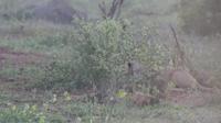 Khoảnh khắc lợn rừng quật ngã sư tử để thoát thân nhưng bất thành