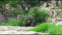 """Xem sư tử """"bày binh bố trận"""" hạ gục trâu rừng"""