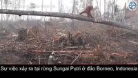 Video cảnh đười ươi quyết cản máy ủi phá rừng