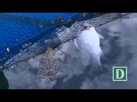 Phú Yên: Cá nuôi lồng bè gần xuất bán bỗng chết hàng loạt