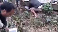 """Người dân vây bắt được rắn """"khủng"""" ở Vĩnh Phúc (Video: Minh Đức)."""