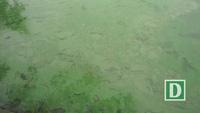 """Mặt nước Hồ Gươm chuyển màu xanh """"lạ"""" do tảo độc"""