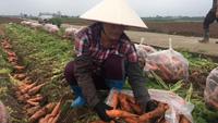 """Cà rốt được mùa, nông dân """"thấp thỏm"""" ngóng thương lái đến mua"""