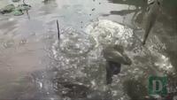 Đàn cá lóc bay đã thu hút nhiều khách du lịch khi đến Cần Thơ