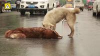 Cảm động khoảnh khắc chú chó cố gắng đánh thức bạn bị xe cán chết trên đường