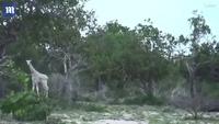 Quay được video cặp mẹ con hươu cao cổ màu trắng cực hiếm