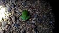 Ngược đời khoảnh khắc ếch cây ngấu nghiến ăn thịt rắn