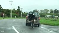 Khoảnh khắc bò mẹ chạy theo bê con bị xe chở đi khiến nhiều người cảm động