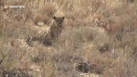 Mải mê tắm nắng, mèo rừng bị báo hoa mai âm thầm áp sát mà không biết