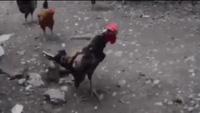 Chết cười chú gà có giọng gáy cực đặc biệt