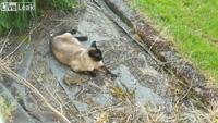Chú thỏ đen đủi, vừa thoát chết khỏi miệng mèo đã lập tức thành mồi ngon cho diều hâu