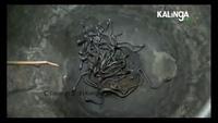 Hàng trăm con rắn hổ mang con bắt được từ nhà của Bhuyan