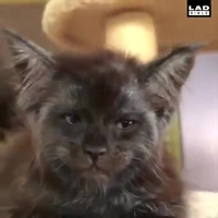"""Chú mèo trở thành """"ngôi sao Internet"""" vì gương mặt giống hệt con người"""