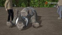 Vườn thú Séc cưa sừng tê giác để ngăn chặn nạn săn bắt trái phép