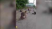 Chú khỉ béo phì đi lại ì ạch trong vườn thú