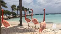 Chim hồng hạc thong dong tản bộ trên thiên đường biển Caribbean