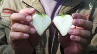 Loại dâu tây siêu đắt được ví như ngọc trắng có gì đặc biệt