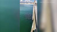 Hiện tượng lạ khi cả trăm con cá đuối cùng tập trung gần bờ biển kiếm ăn