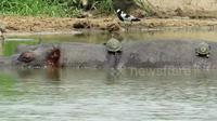 Bầy rùa leo lên lưng hà mã sưởi nắng