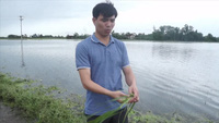 Clip: Hàng trăm ha lúa có nguy cơ mất trắng vì nước lũ nhấn chìm.
