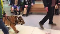 Dắt hổ đi dạo trong trung tâm thương mại