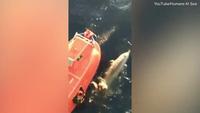 Thủy thủ dũng cảm lao mình xuống nước cứu cá voi