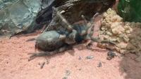 Ghê người xem nhện Tarantula thoát xác