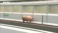Lợn gây đình trệ giao thông trên đường cao tốc Nhật
