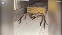 """Video nhện khổng lồ """"đánh răng"""" ở Úc"""
