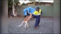 Video kangaroo đánh nhau với người đàn ông